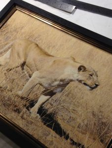 Stalking Lioness on canvas in a double frame